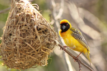 Southern Masked Weaver   Male    photo