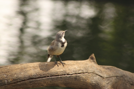 Cape Wagtail.
