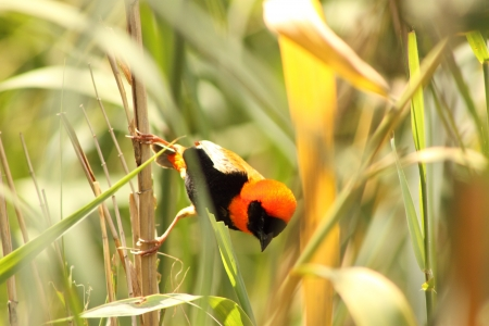 Red Bishop ( Male ).
