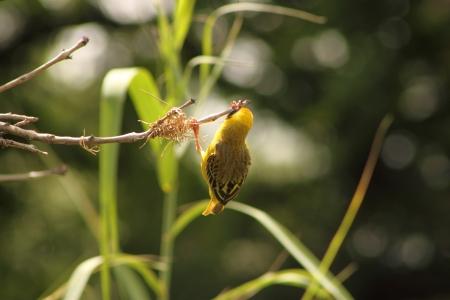 Southern Masked Weaver ( Male ). Stock Photo