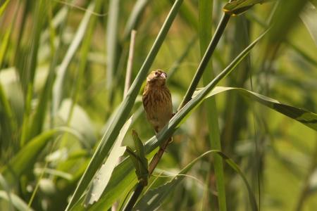 Red Bishop ( Female ). Stock Photo