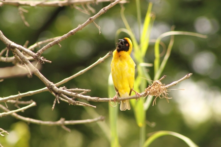 Southern Masked Weaver ( Male ). Stock Photo