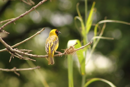 Southern Masked Weaver ( Male ). Stock Photo - 16760554