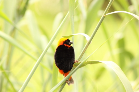 Red Bishop  Male   Stock Photo