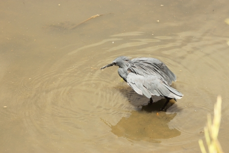 Black Heron  photo