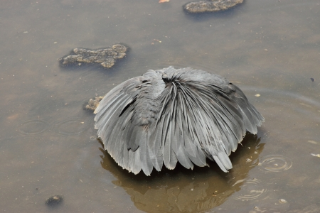 Black Heron  Stock Photo