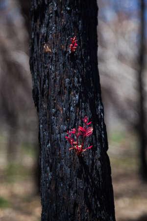 Regeneration after bush fire Australia, red shoots emerging from black bark
