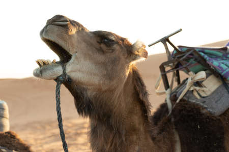 Camels raising head with mouth open in the Sahara desert at sunset