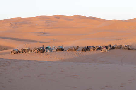 Camels sitting down resting in the Sahara desert at sunset with golden sand Banco de Imagens