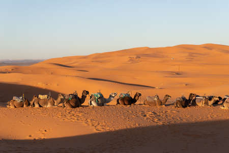 Camels sitting down resting in the Sahara desert at sunset with golden sand