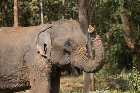 Elephant standing under trees in woodland setting in Laos elephant sanctuary. High quality photo
