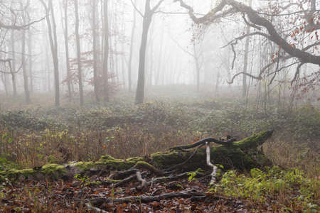 Moss covered dead fallen branches of trees in misty ghost forest in winter Stock Photo