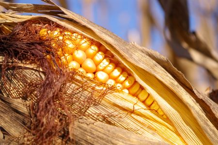Close up view of an ear of corn