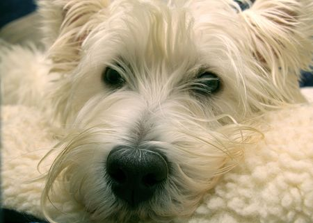 West Highland Terrier up close Imagens