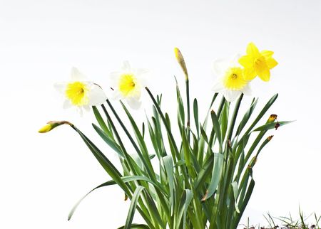 Bunch of white and yellow narcissus daffodils on white background