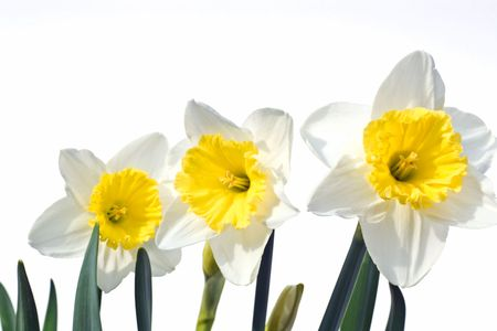 Three white and yellow narcissus daffodil flowers on white background Imagens