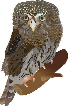 pygmy: pygmy owl