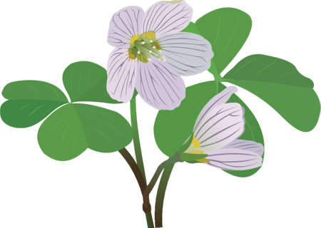 wood sorrel Vector