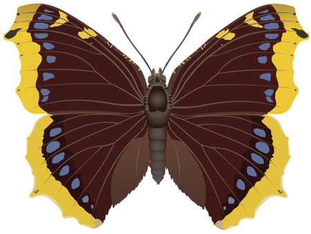 camberwell beauty butterfly Vector