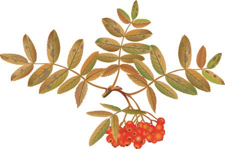 ashberry: rowan berry Illustration