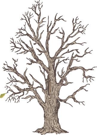 boreal: oak Illustration
