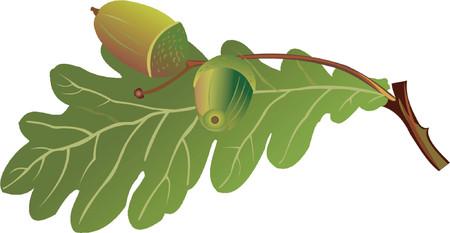 quercus: oak Illustration