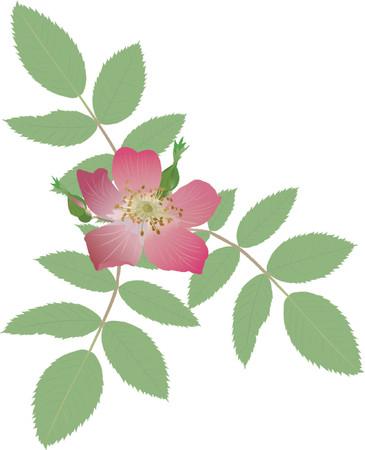 boreal: rose