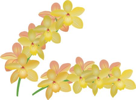 boreal: Cymbidium orchid Illustration