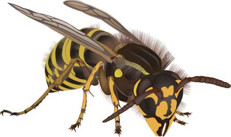 carnivore: wasp