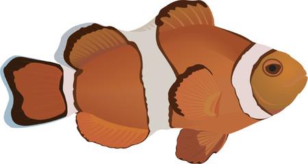 Clownfish Stock Vector - 523259