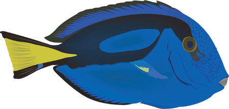 ichthyology: Blue tang Illustration