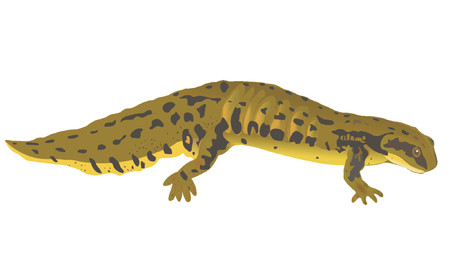 gilled: newt
