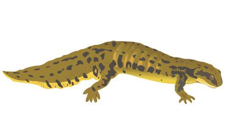 gill: newt