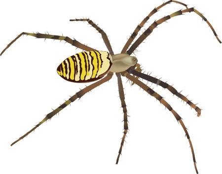 aracnidos: Spider