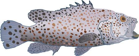 epinephelus: Greasy grouper Illustration