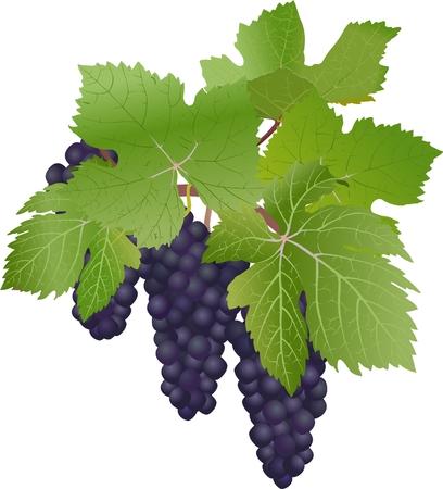 vitis: Black grapes - Vitis vinifera (lat.) The vector drawing of berries. Illustration