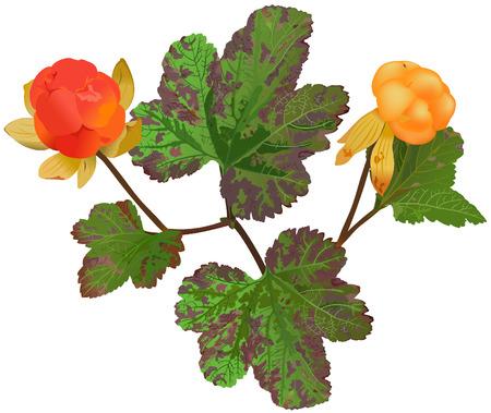 rubus chamaemorus: Rubus chamaemorus - Rubus chamaemorus (lat.)  Vectores