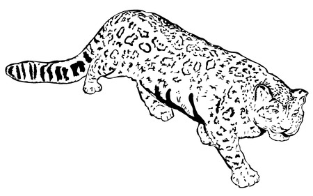 snow leopard: Snow Leopard - Panthera, Uncia (lat.) Illustration