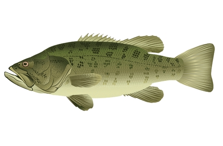 ichthyology: Bass - Micropterus salmoides (lat.)