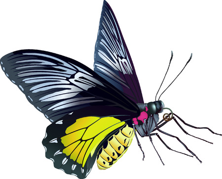 lepidoptera: Birdwing Butterfly - Troides rhadamanthus (lat.) Illustration