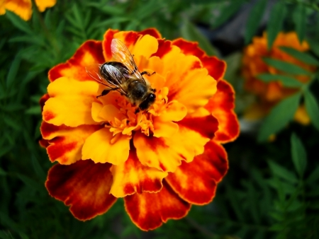bee on a red flower Banco de Imagens