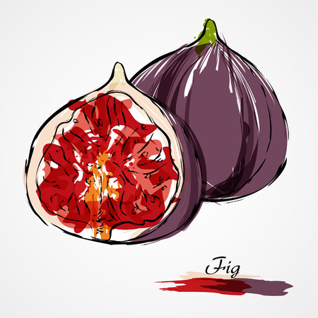 purple fig: Hand drawn vector ripe purple fig fruit on light background