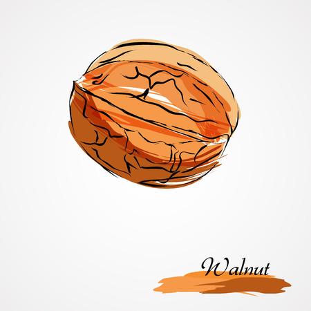 nutty: Hand drawn vector ripe walnut on light background Illustration