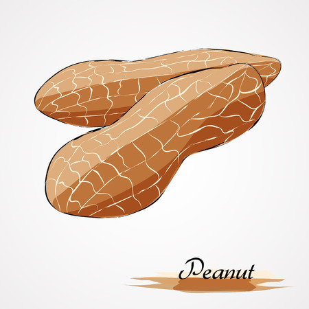 nutty: Hand drawn vector ripe peanut on light background
