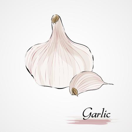 garlic clove: Hand drawn vector ripe garlic and clove of garlic on the light background