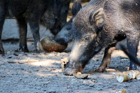 portrait of a boar in a game park Stock Photo