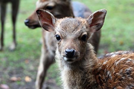 baby deer: portrait of a baby deer