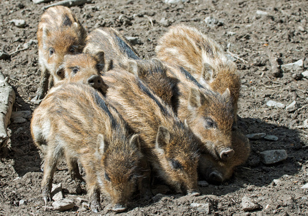 piglets: cute piglets in a game park