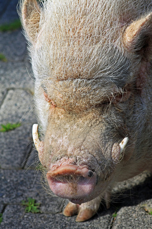 tusks: pig with tusks Stock Photo