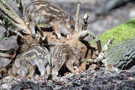 many babies: cute boar piglets